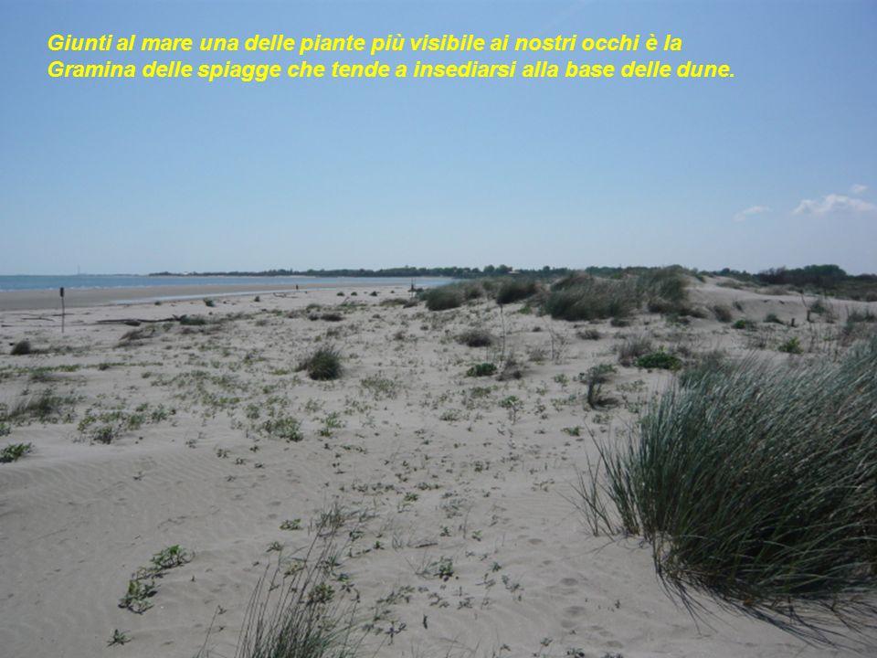 Giunti al mare una delle piante più visibile ai nostri occhi è la Gramina delle spiagge che tende a insediarsi alla base delle dune.