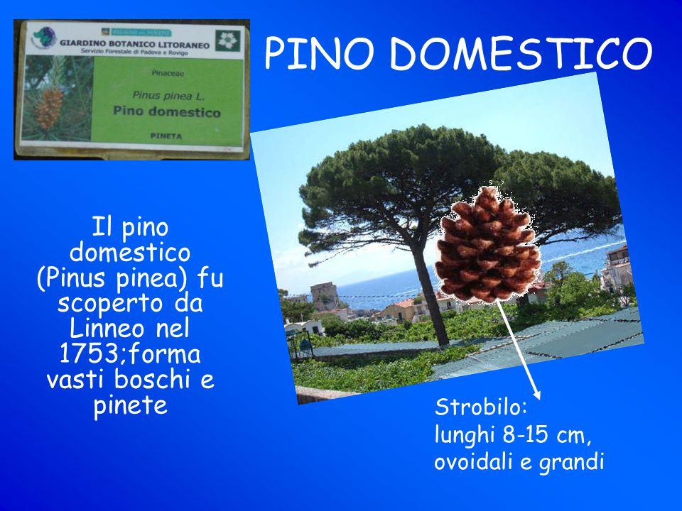 PINO DOMESTICO Il pino domestico (Pinus pinea) fu scoperto da Linneo nel 1753;forma vasti boschi e pinete Strobilo: lunghi 8-15 cm, ovoidali e grandi