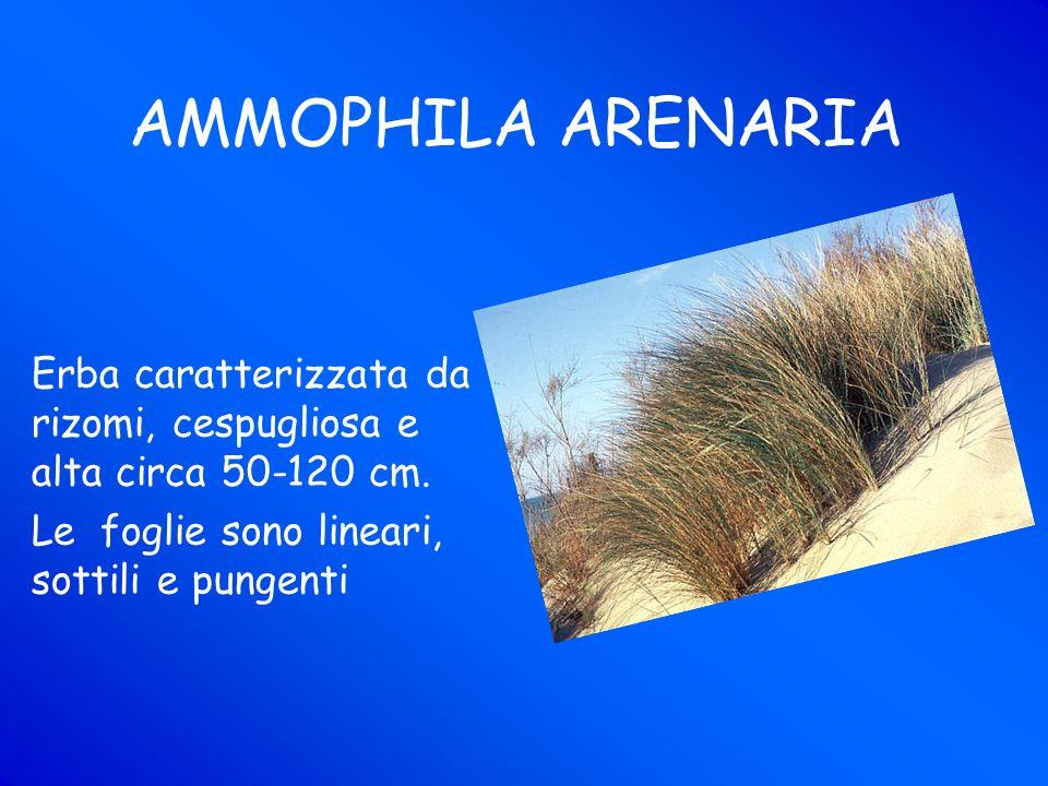 AMMOPHILA ARENARIA Erba caratterizzata da rizomi, cespugliosa e alta circa 50-120 cm.