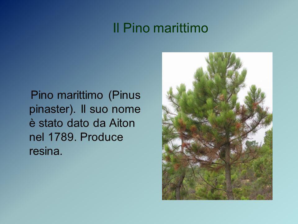 Il Pino marittimo Pino marittimo (Pinus pinaster). Il suo nome è stato dato da Aiton nel 1789. Produce resina.