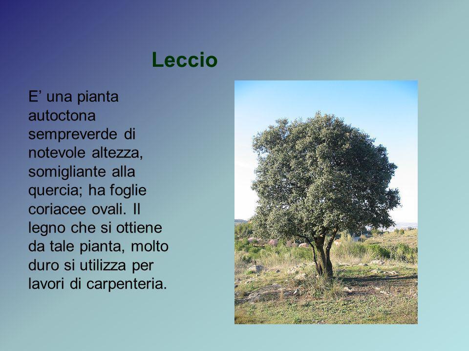 Leccio E una pianta autoctona sempreverde di notevole altezza, somigliante alla quercia; ha foglie coriacee ovali. Il legno che si ottiene da tale pia