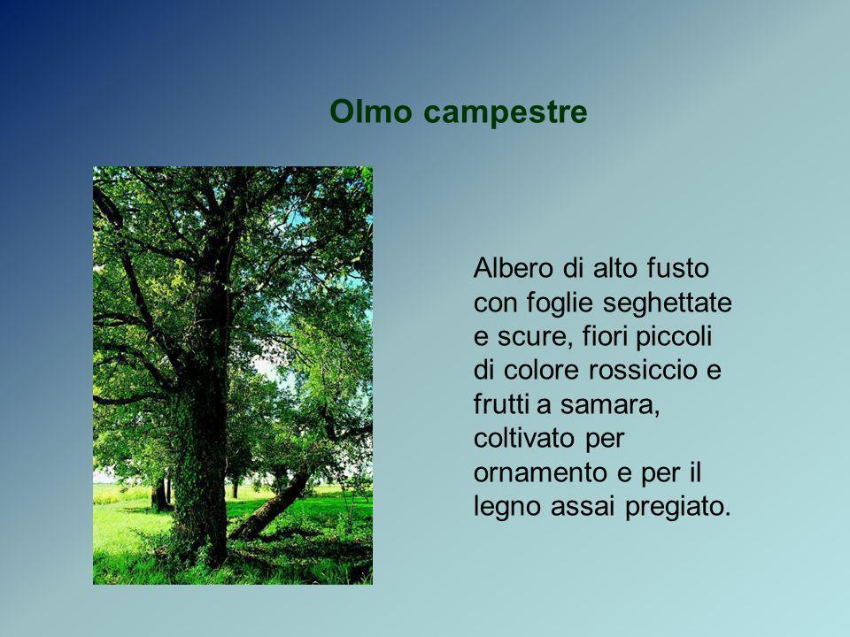 Olmo campestre Albero di alto fusto con foglie seghettate e scure, fiori piccoli di colore rossiccio e frutti a samara, coltivato per ornamento e per