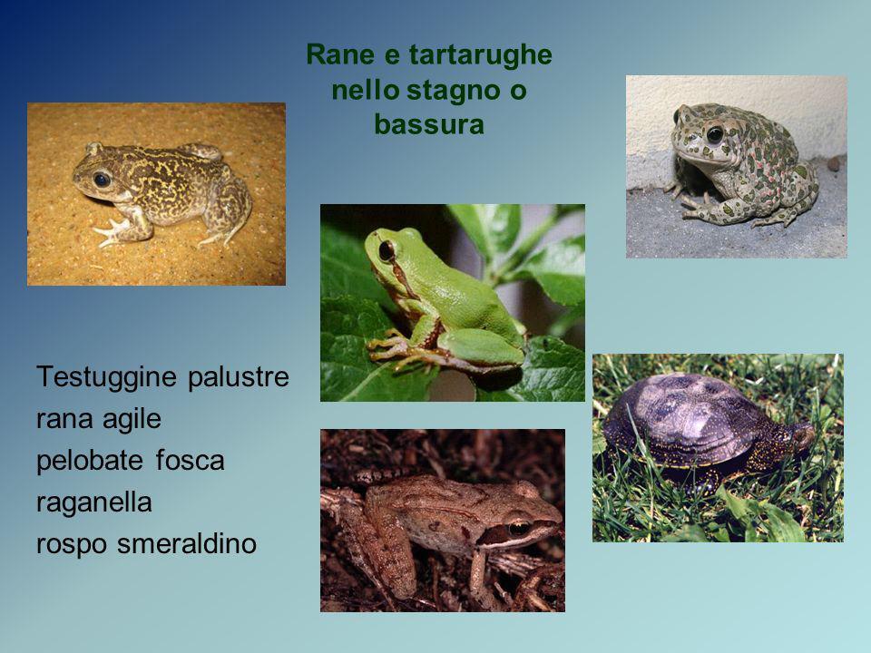 Rane e tartarughe nello stagno o bassura Testuggine palustre rana agile pelobate fosca raganella rospo smeraldino