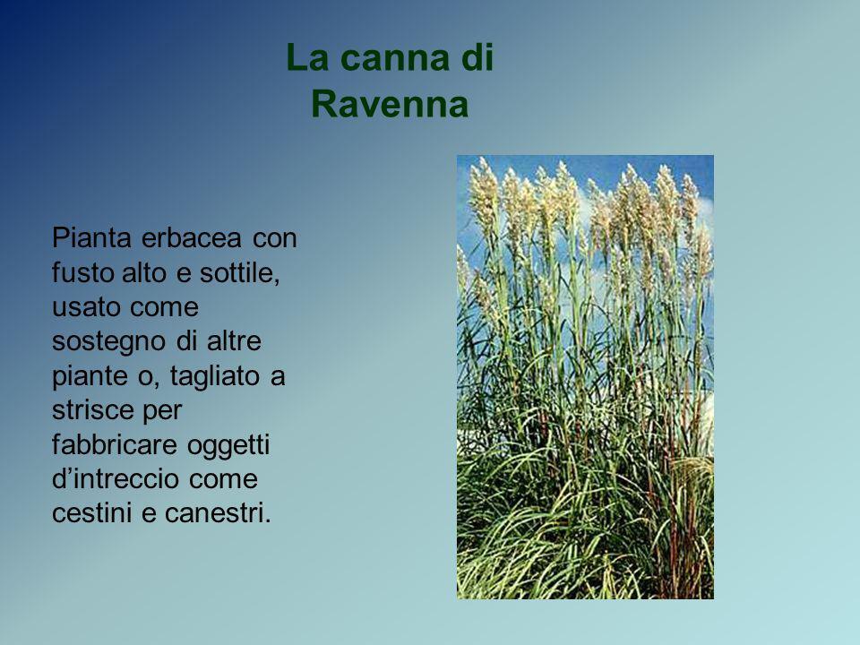 La canna di Ravenna Pianta erbacea con fusto alto e sottile, usato come sostegno di altre piante o, tagliato a strisce per fabbricare oggetti dintrecc