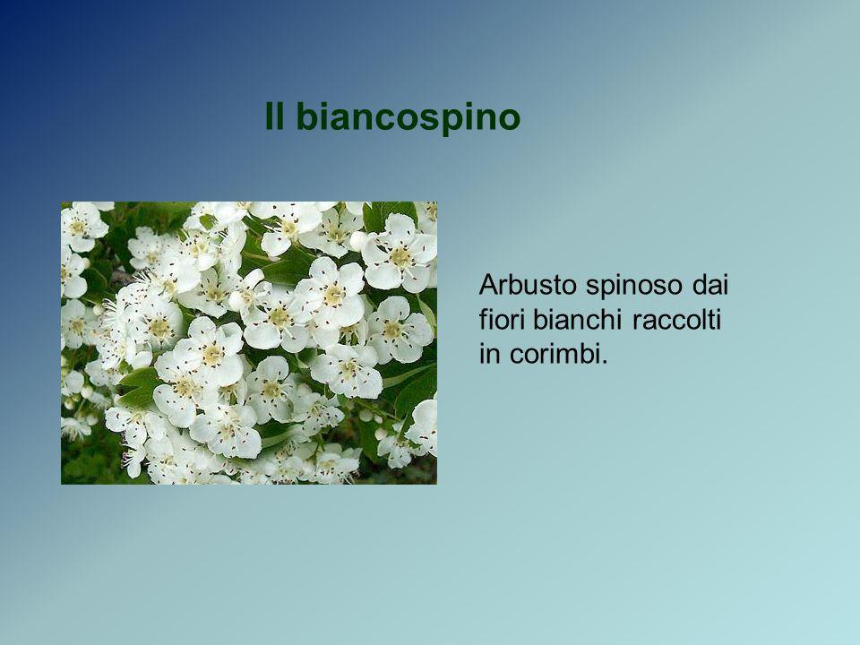 Il biancospino Arbusto spinoso dai fiori bianchi raccolti in corimbi.