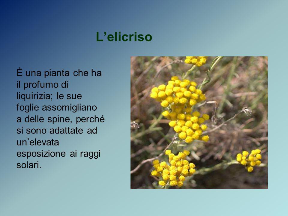 Lelicriso È una pianta che ha il profumo di liquirizia; le sue foglie assomigliano a delle spine, perché si sono adattate ad unelevata esposizione ai