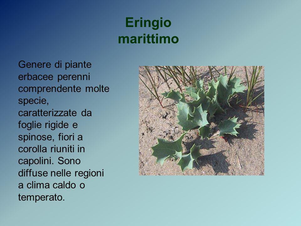 Eringio marittimo Genere di piante erbacee perenni comprendente molte specie, caratterizzate da foglie rigide e spinose, fiori a corolla riuniti in ca