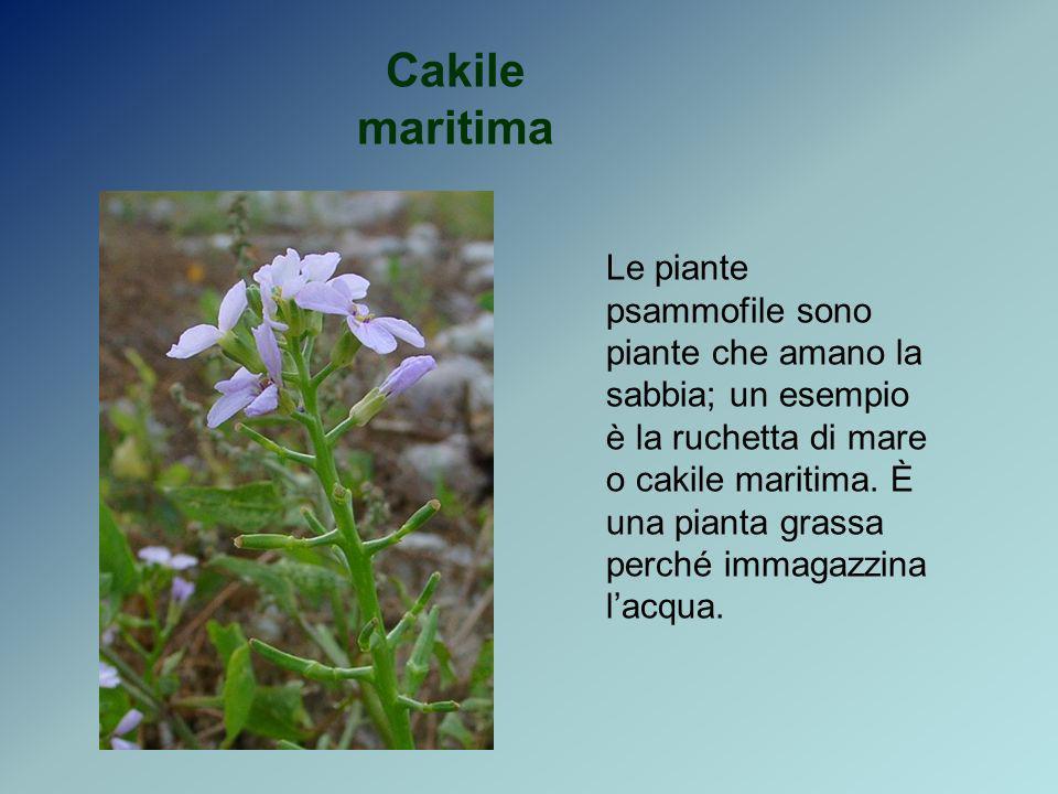 Cakile maritima Le piante psammofile sono piante che amano la sabbia; un esempio è la ruchetta di mare o cakile maritima. È una pianta grassa perché i