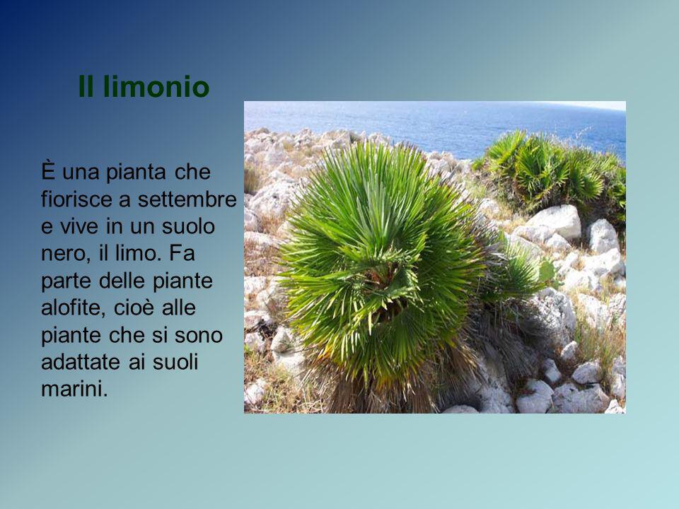 Il limonio È una pianta che fiorisce a settembre e vive in un suolo nero, il limo. Fa parte delle piante alofite, cioè alle piante che si sono adattat