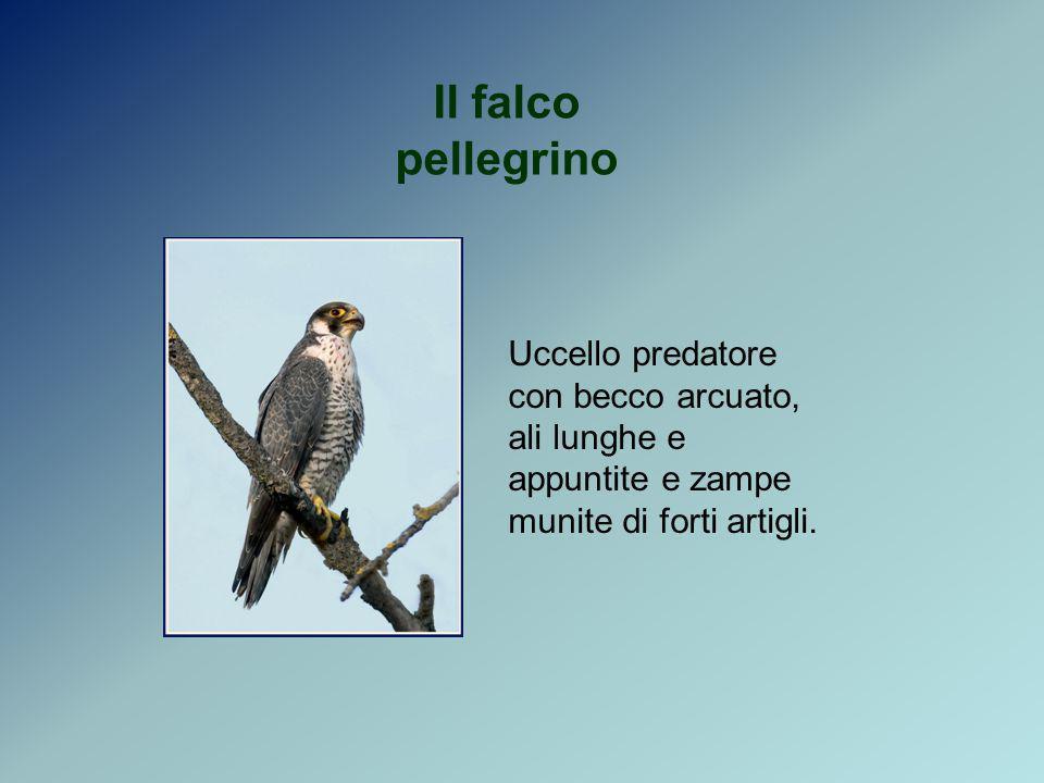 Il falco pellegrino Uccello predatore con becco arcuato, ali lunghe e appuntite e zampe munite di forti artigli.
