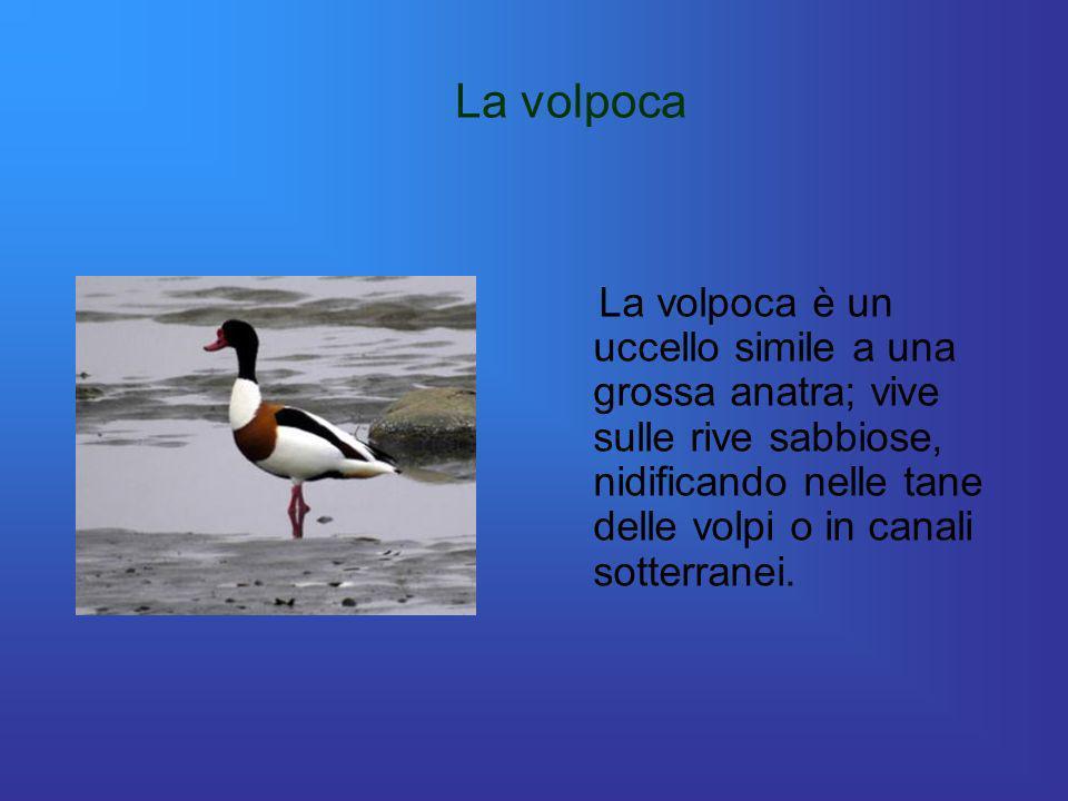 La volpoca La volpoca è un uccello simile a una grossa anatra; vive sulle rive sabbiose, nidificando nelle tane delle volpi o in canali sotterranei.