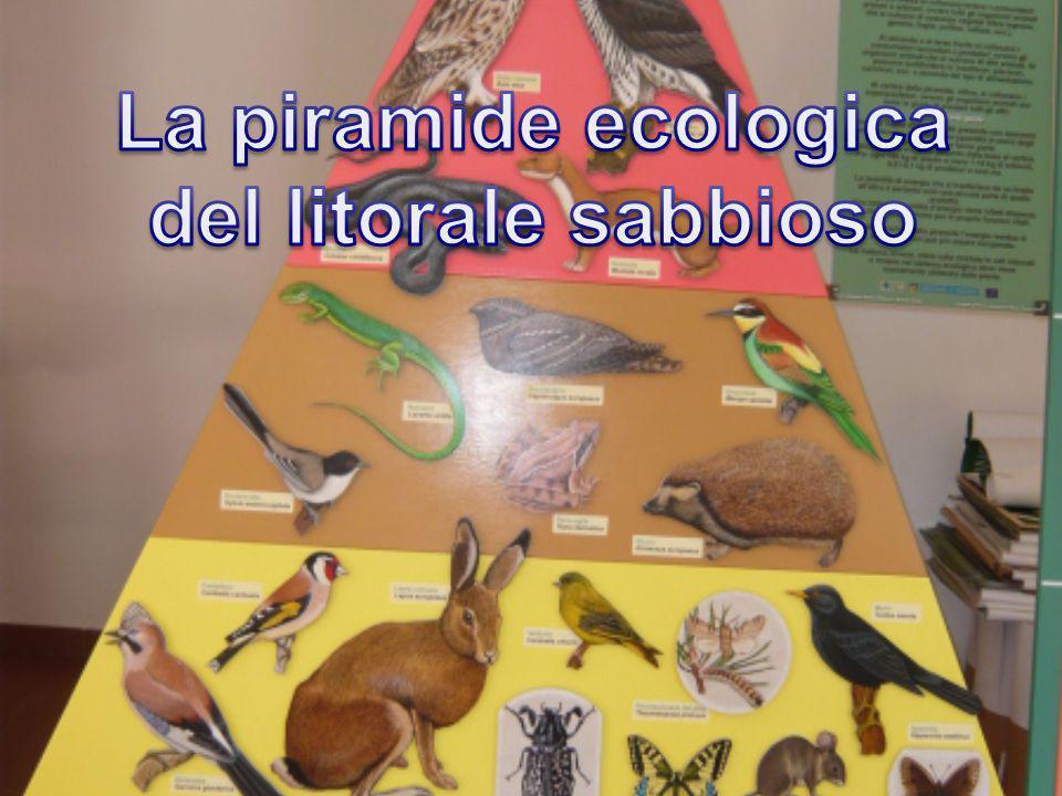 Il gabbiano reale Uccello acquatico con ali bianche bordate di nero, becco affusolato e zampe palmate; vive in affollate colonie
