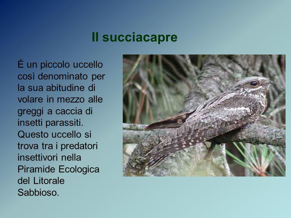 Il succiacapre È un piccolo uccello così denominato per la sua abitudine di volare in mezzo alle greggi a caccia di insetti parassiti. Questo uccello