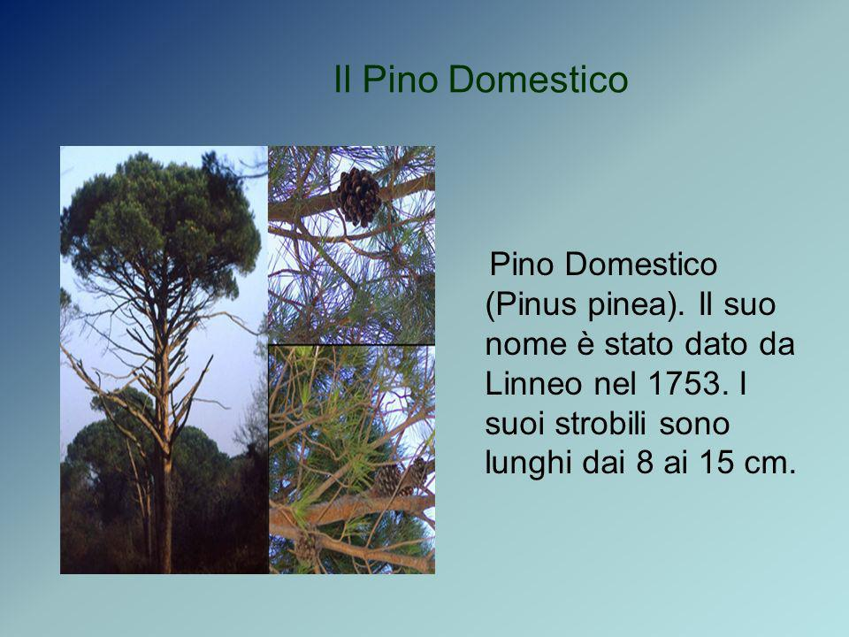 Il Pino Domestico Pino Domestico (Pinus pinea). Il suo nome è stato dato da Linneo nel 1753. I suoi strobili sono lunghi dai 8 ai 15 cm.