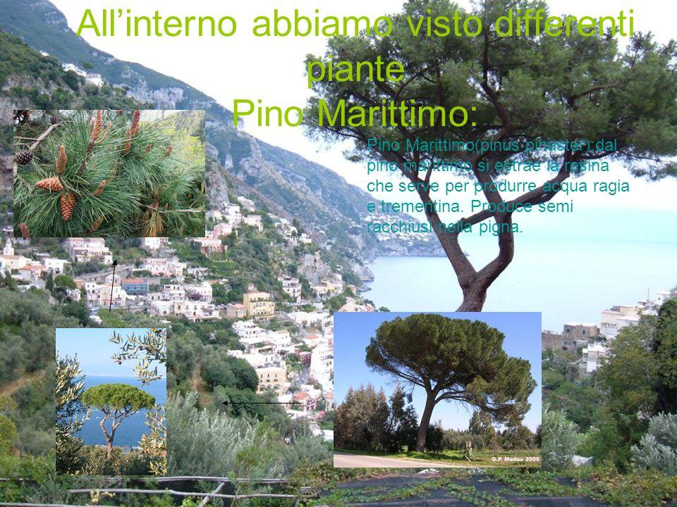 Pino domestico (Pinus Pinea) È a forma di ombrello,i semi sono contenuti in una pigna rotonda molto pesante impiegano 3-4 anni a maturare;i pinoli vengono usati in pasticceria,