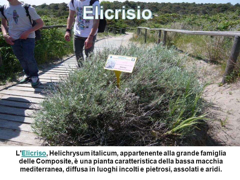 L Elicriso, Helichrysum italicum, appartenente alla grande famiglia delle Composite, è una pianta caratteristica della bassa macchia mediterranea, diffusa in luoghi incolti e pietrosi, assolati e aridi.Elicriso