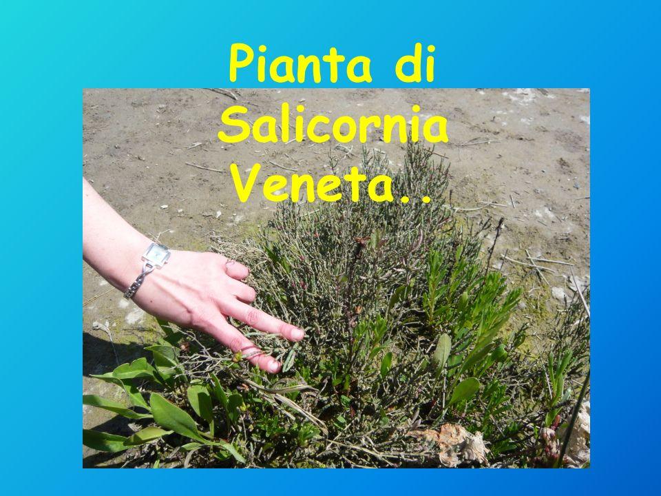 Pianta di Salicornia Veneta..