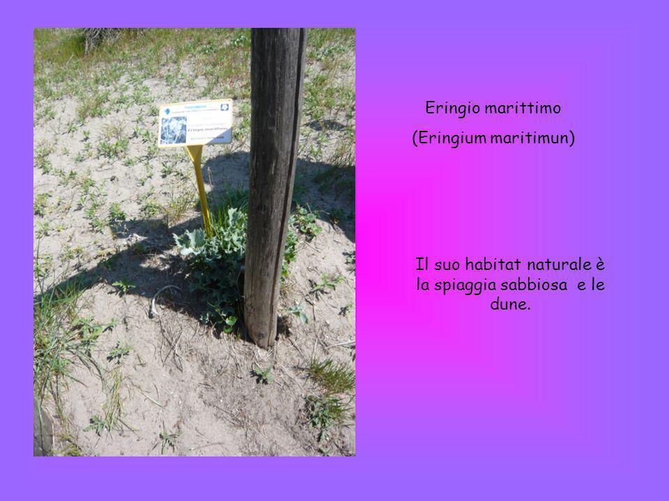 Eringio marittimo (Eringium maritimun) Il suo habitat naturale è la spiaggia sabbiosa e le dune.