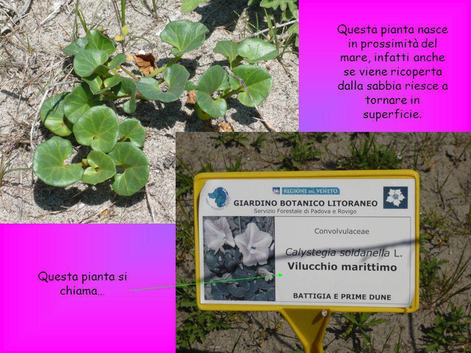 Questa pianta si chiama… Questa pianta nasce in prossimità del mare, infatti anche se viene ricoperta dalla sabbia riesce a tornare in superficie.