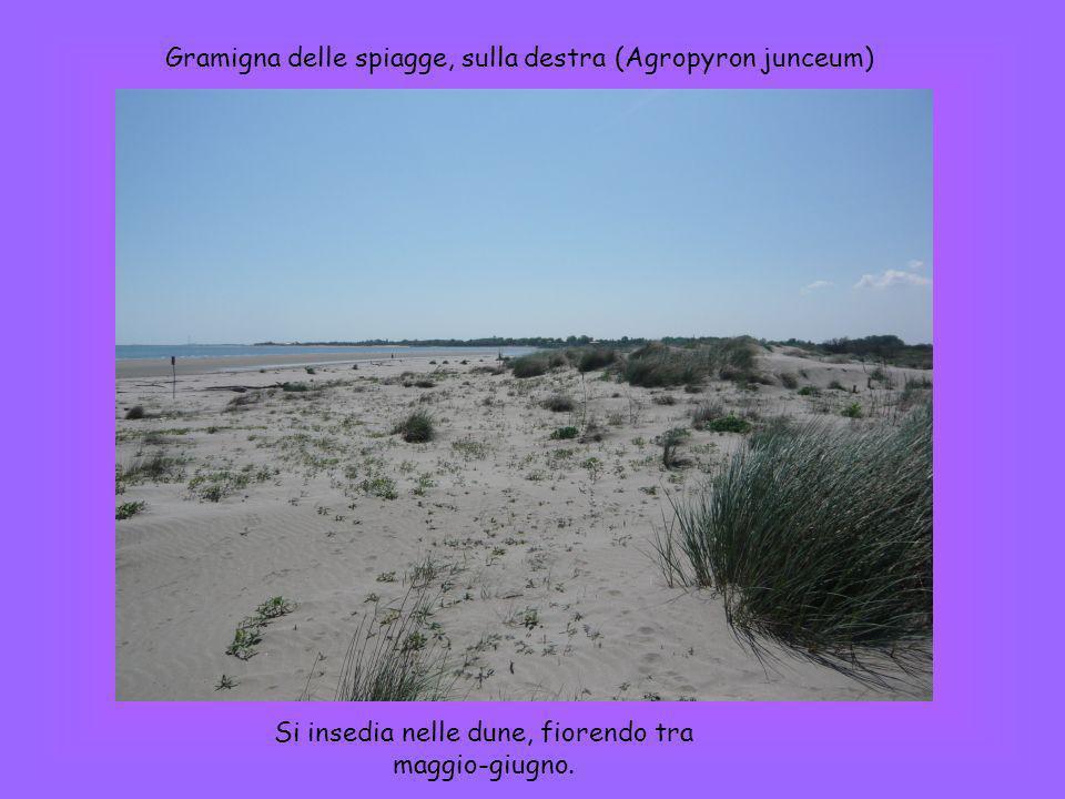 Gramigna delle spiagge, sulla destra (Agropyron junceum) Si insedia nelle dune, fiorendo tra maggio-giugno.
