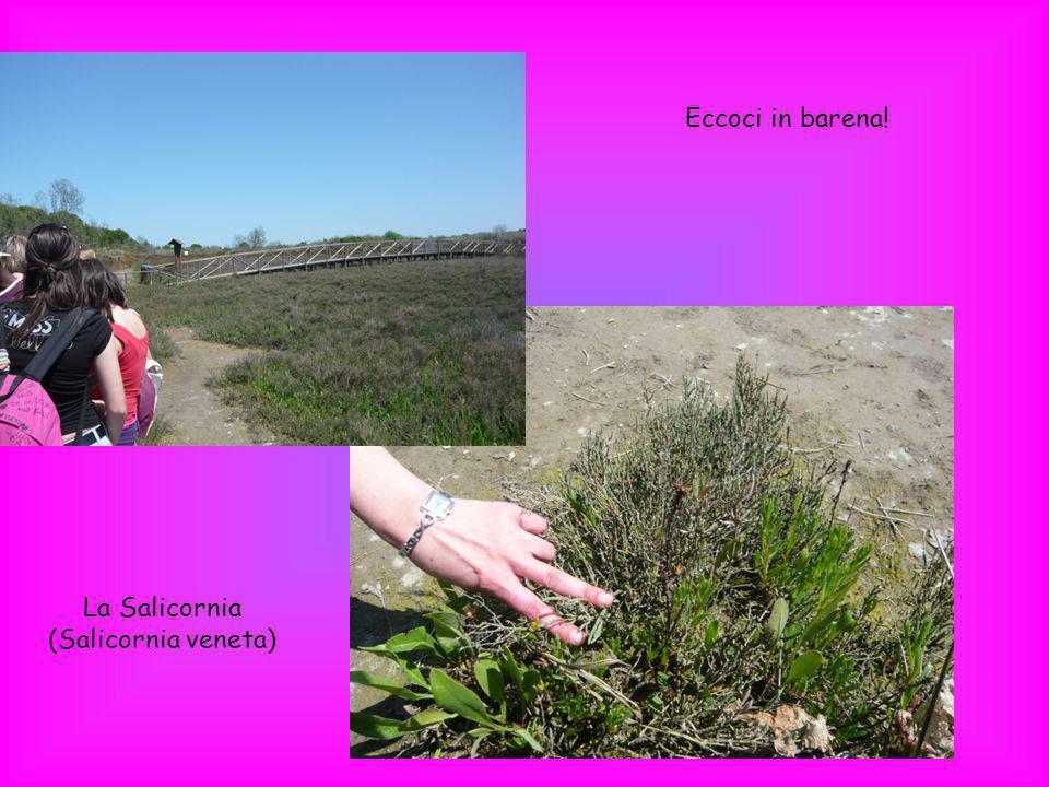 Eccoci in barena! La Salicornia (Salicornia veneta)