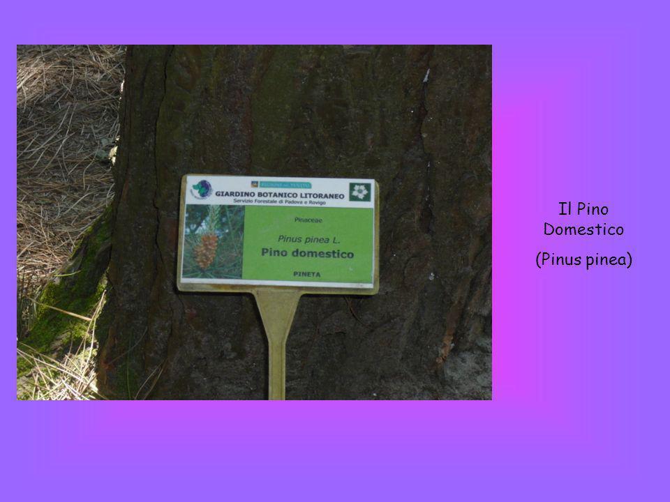Il Pino Domestico (Pinus pinea)
