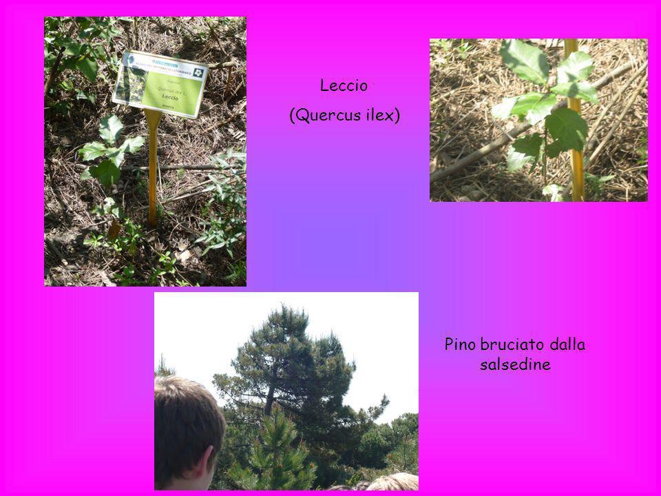 Leccio (Quercus ilex) Pino bruciato dalla salsedine