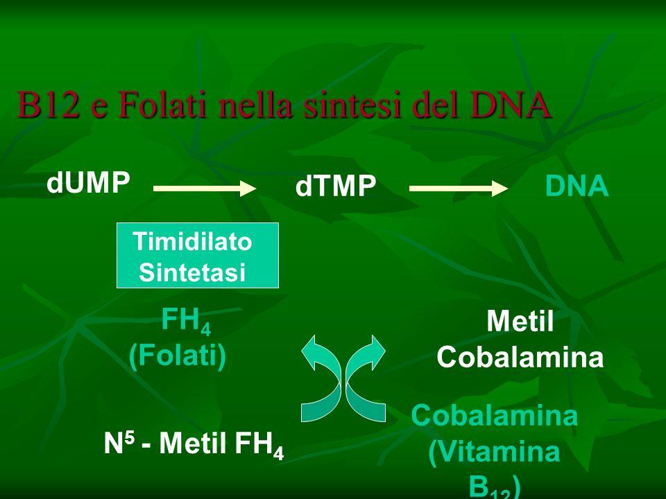 B12 e Folati nella sintesi del DNA Timidilato Sintetasi DNA FH 4 (Folati) dTMP N 5 - Metil FH 4 Metil Cobalamina Cobalamina (Vitamina B 12 ) dUMP