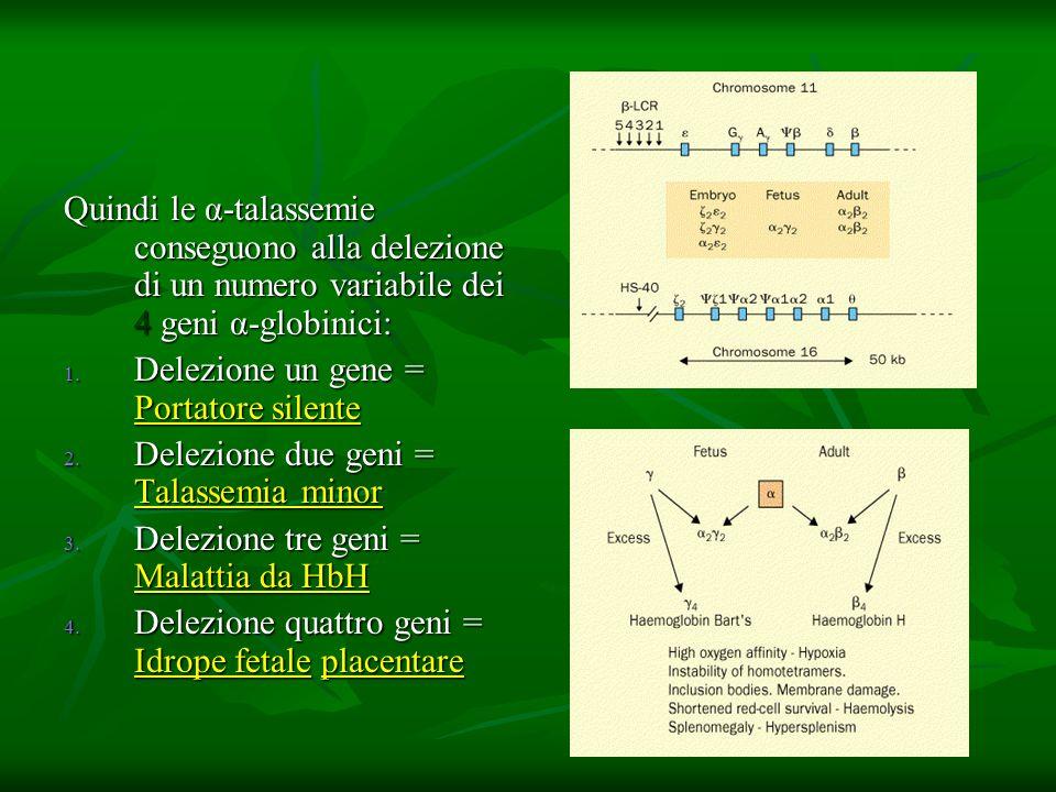Quindi le α-talassemie conseguono alla delezione di un numero variabile dei 4 geni α-globinici: 1. Delezione un gene = Portatore silente 2. Delezione