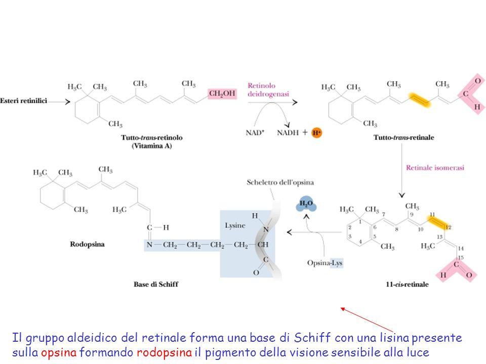 Il gruppo aldeidico del retinale forma una base di Schiff con una lisina presente sulla opsina formando rodopsina il pigmento della visione sensibile