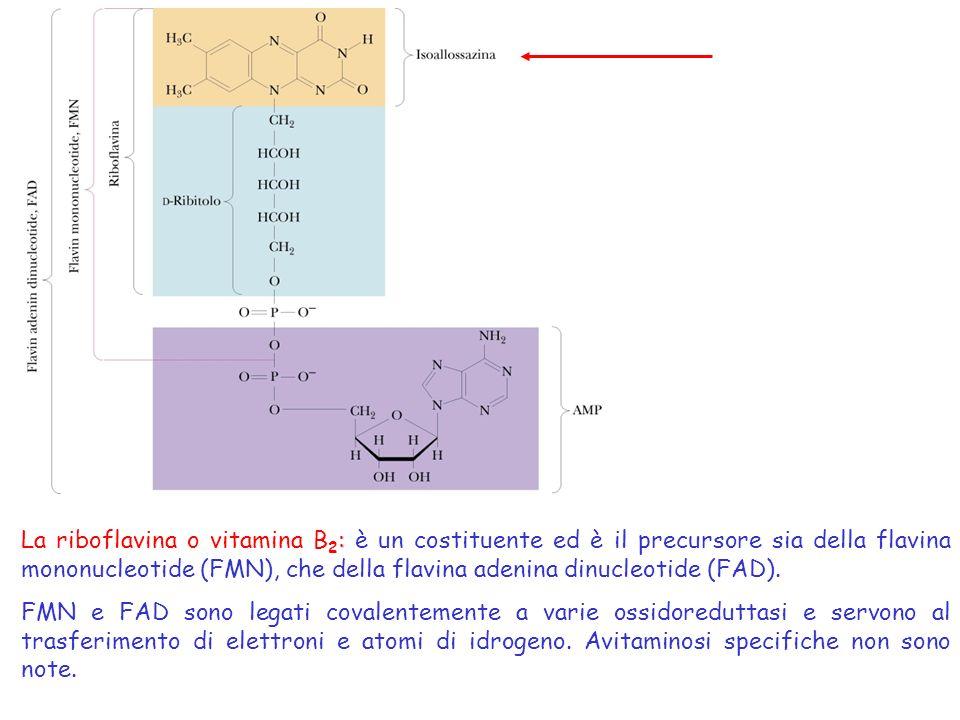 I coenzimi flavinici possono esistere in tre differenti stati di ossidazione e per questa loro caratteristica partecipano a reazioni di trasferimento sia di uno che di due elettroni.