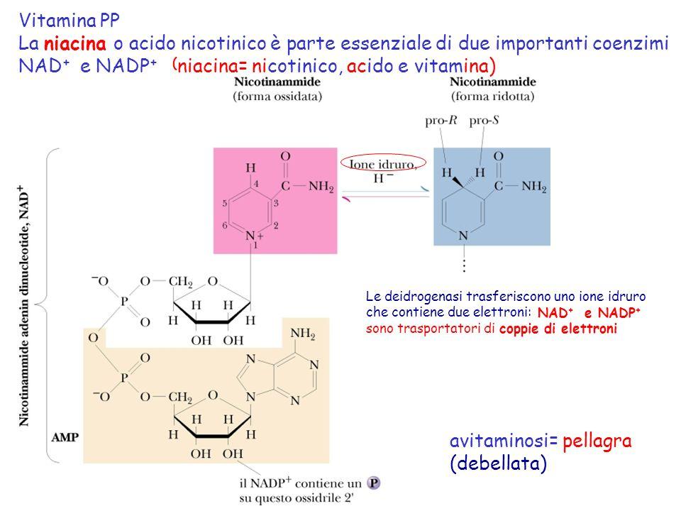 Vitamina PP La niacina o acido nicotinico è parte essenziale di due importanti coenzimi NAD + e NADP + ( niacina= nicotinico, acido e vitamina) avitam