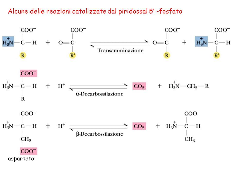 Alcune delle reazioni catalizzate dal piridossal 5 -fosfato aspartato
