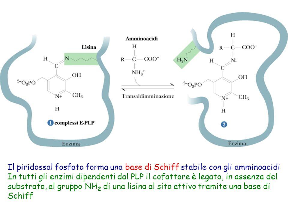 Il piridossal fosfato forma una base di Schiff stabile con gli amminoacidi In tutti gli enzimi dipendenti dal PLP il cofattore è legato, in assenza de