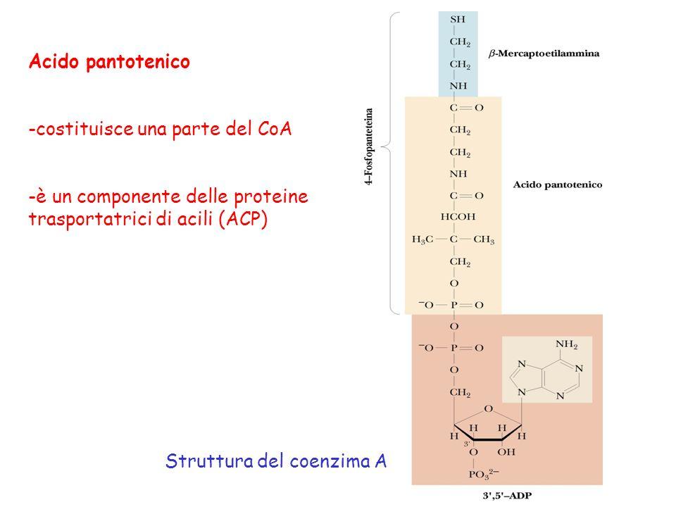Acido pantotenico -costituisce una parte del CoA -è un componente delle proteine trasportatrici di acili (ACP) Struttura del coenzima A