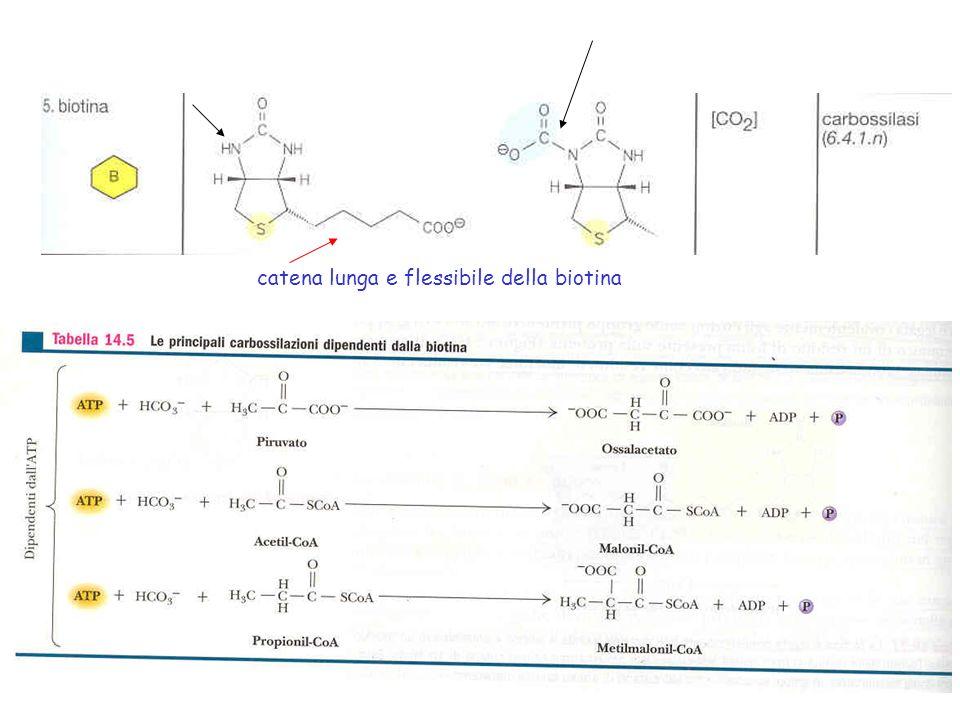 Nella gluconeogenesi, la conversione del piruvato in PEP richiede lintervento di 2 enzimi: lenzima piruvato carbossilasi è biotina-dipendente.