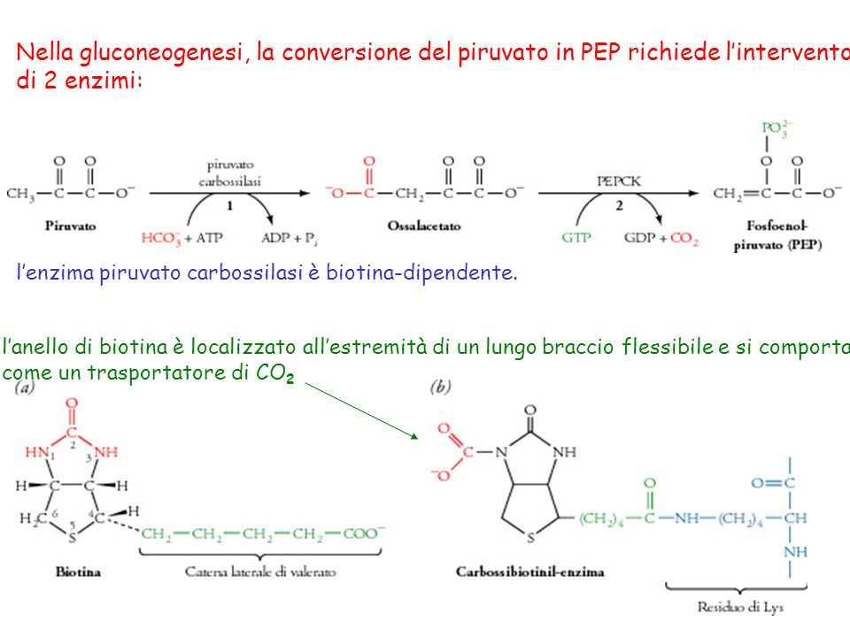 Nella gluconeogenesi, la conversione del piruvato in PEP richiede lintervento di 2 enzimi: lenzima piruvato carbossilasi è biotina-dipendente. lanello