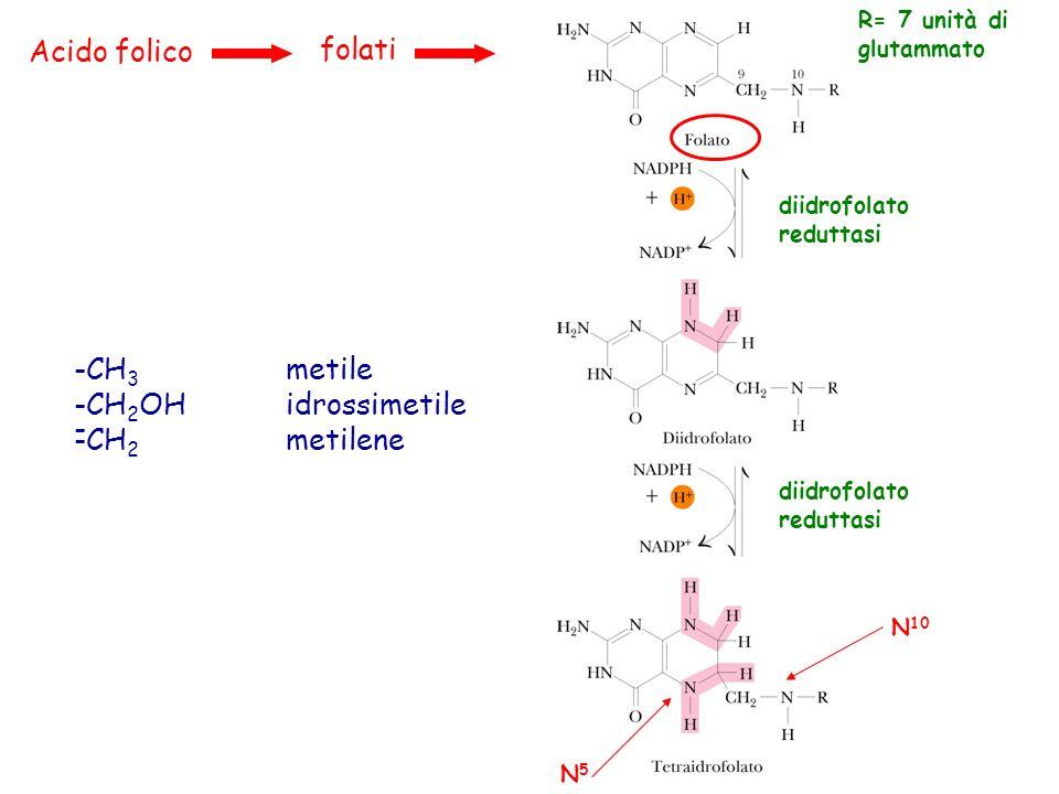 Acido folico folati diidrofolato reduttasi R= 7 unità di glutammato diidrofolato reduttasi N 10 N5N5 Il THF è accettore e donatore di unità monocarboniose a tutti i livelli di ossidazione del carbonio (ad eccezione della CO 2 ).
