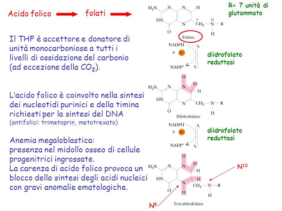 Acido folico folati diidrofolato reduttasi R= 7 unità di glutammato diidrofolato reduttasi N 10 N5N5 Il THF è accettore e donatore di unità monocarbon