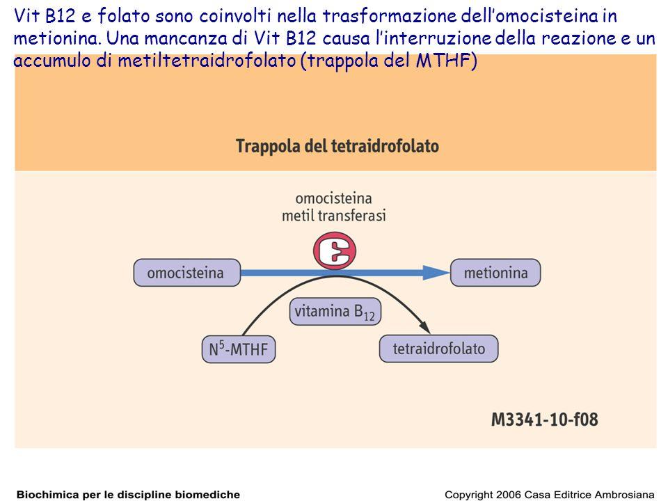 Vit B12 e folato sono coinvolti nella trasformazione dellomocisteina in metionina. Una mancanza di Vit B12 causa linterruzione della reazione e un acc