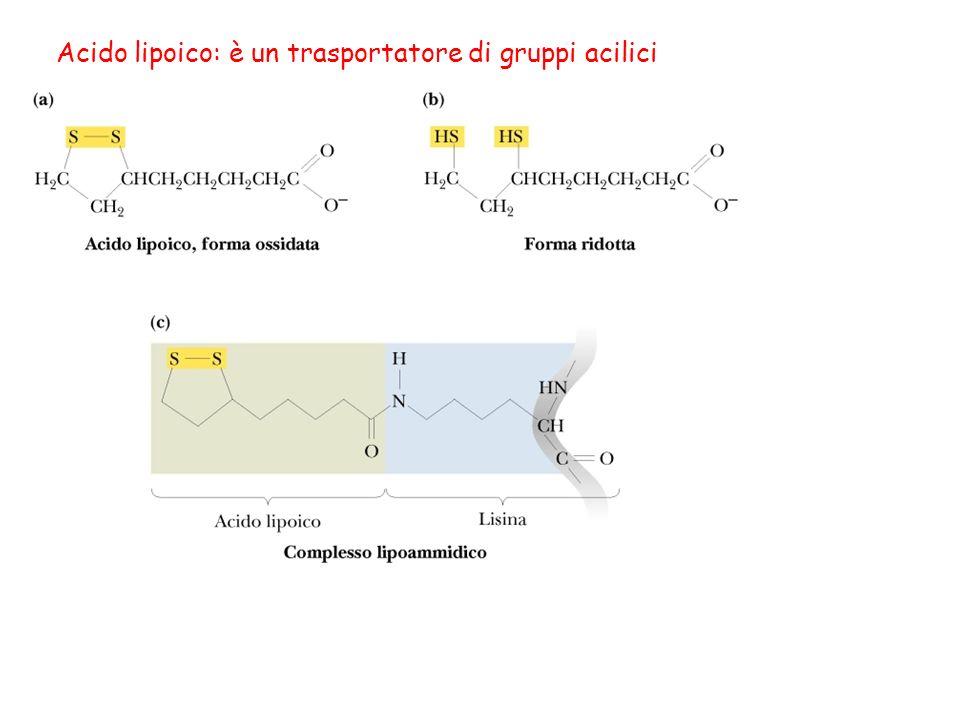 Lacido lipoico è presente nella piruvato deidrogenasi e nella -chetoglutarato deidrogenasi (due complessi multienzimatici).