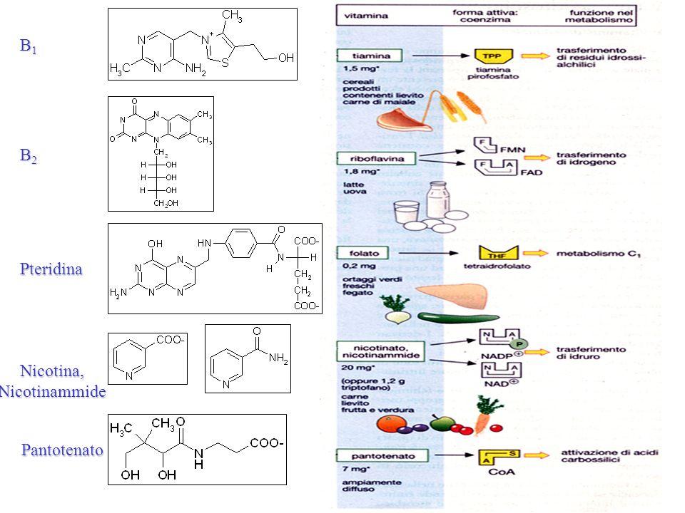 B1B1B1B1 B2B2B2B2 Pteridina Pantotenato Nicotina, Nicotinammide