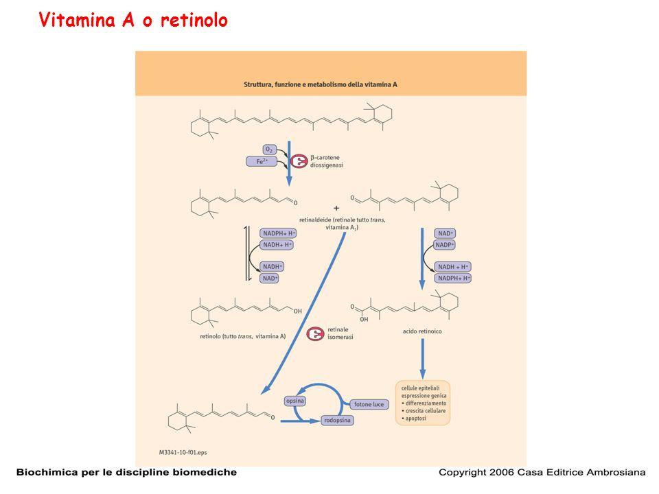 Il gruppo aldeidico del retinale forma una base di Schiff con una lisina presente sulla opsina formando rodopsina il pigmento della visione sensibile alla luce