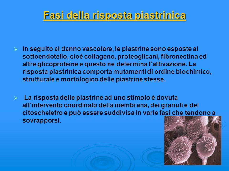 Fasi della risposta piastrinica Fasi della risposta piastrinica In seguito al danno vascolare, le piastrine sono esposte al sottoendotelio, cioè colla
