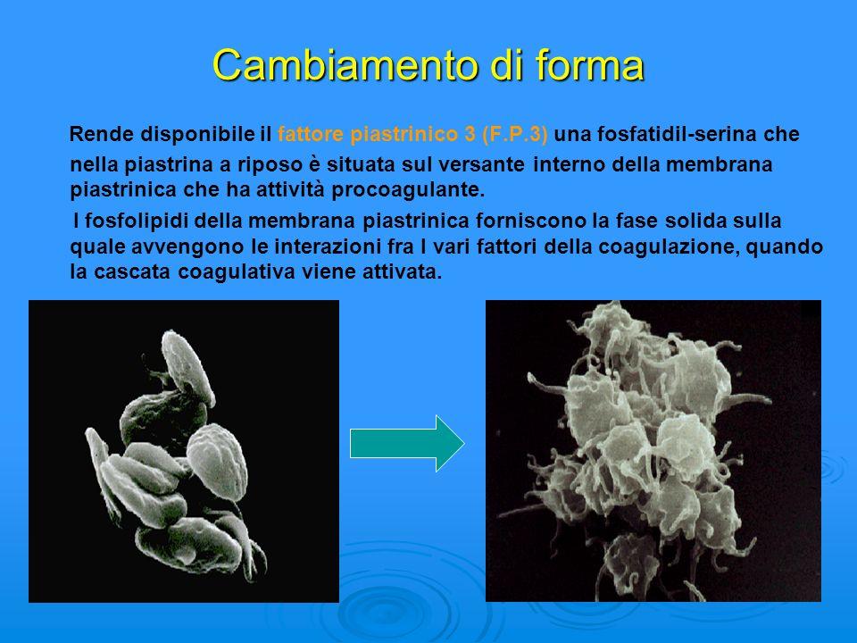 Cambiamento di forma Rende disponibile il fattore piastrinico 3 (F.P.3) una fosfatidil-serina che nella piastrina a riposo è situata sul versante inte