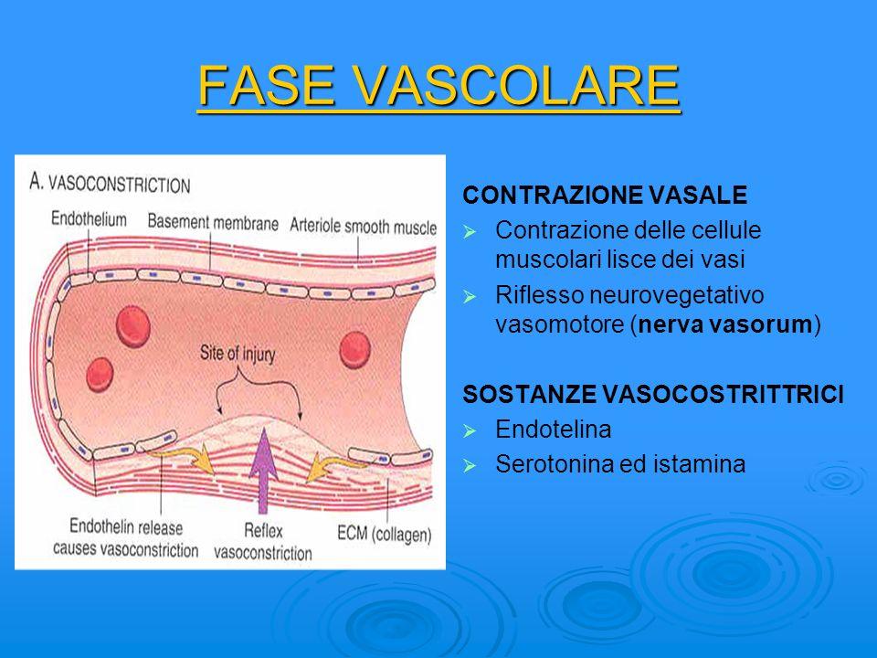 FASE VASCOLARE CONTRAZIONE VASALE Contrazione delle cellule muscolari lisce dei vasi Riflesso neurovegetativo vasomotore (nerva vasorum) SOSTANZE VASO
