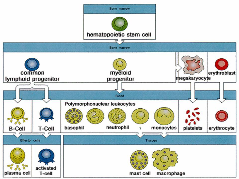 Ladesione piastrinica al collageno avviene tramite recettori specifici che sono accoppiati a proteine G di trasduzione.