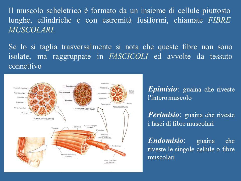 Il muscolo scheletrico è formato da un insieme di cellule piuttosto lunghe, cilindriche e con estremità fusiformi, chiamate FIBRE MUSCOLARI. Se lo si