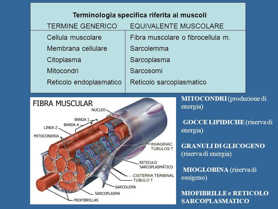 Terminologia specifica riferita ai muscoli TERMINE GENERICOEQUIVALENTE MUSCOLARE Cellula muscolareFibra muscolare o fibrocellula m. Membrana cellulare