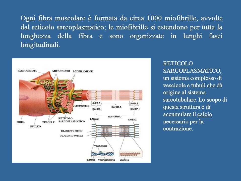 Ogni fibra muscolare è formata da circa 1000 miofibrille, avvolte dal reticolo sarcoplasmatico; le miofibrille si estendono per tutta la lunghezza del